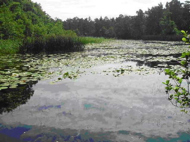 Jezioro Kopalińskie pokryte nenufarami, autor: yacek