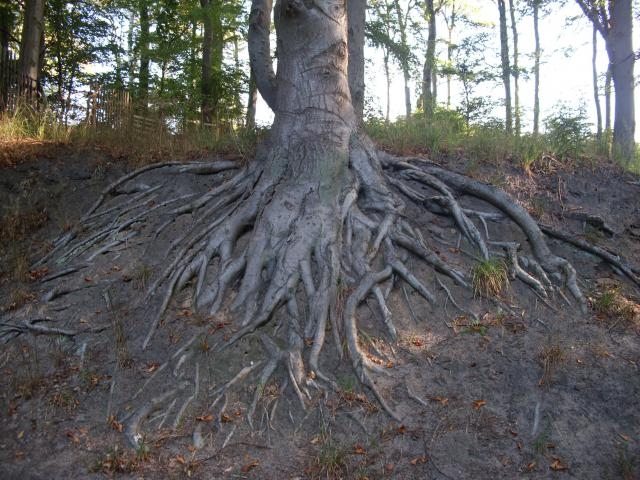 Drzewo na trasie Uckeritz - Kolpinsee.    [foto: piotr-56]  - MojRower.pl