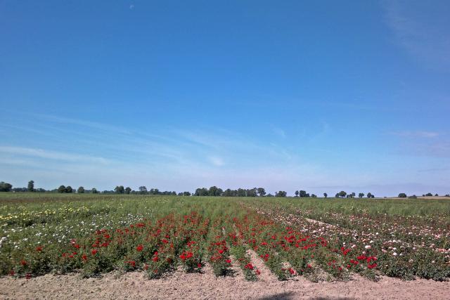 pole z sadzonkami krzewów i dzikimi różami, autor: hubert-tyc