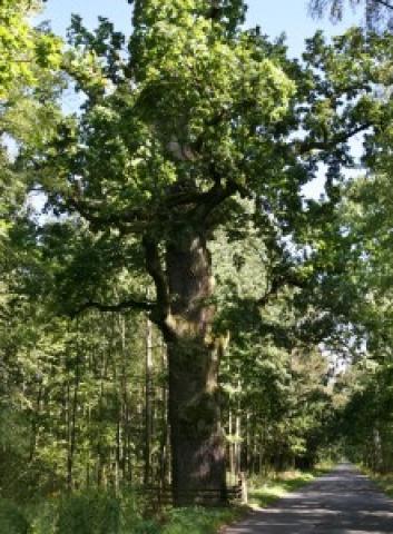 Dąb szypułkowy Quercus robur   - wiek 470 lat  -  Popielów - oddz. lasu 43 (po prawej stronie drogi Popielów-Karłowice) - MojRower.pl